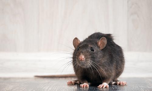 Phobien Ratte
