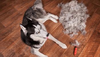 Tierhaarallergie, Hund