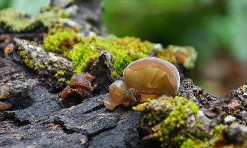 Pilz wächst in Wald auf Baumstamm. Symbol Mykotherapie
