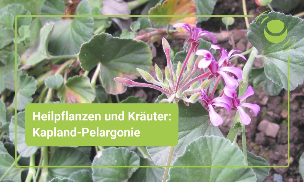 Kapland-Pelargonie – Alles, was Du über ihre Wirkung wissen solltest.