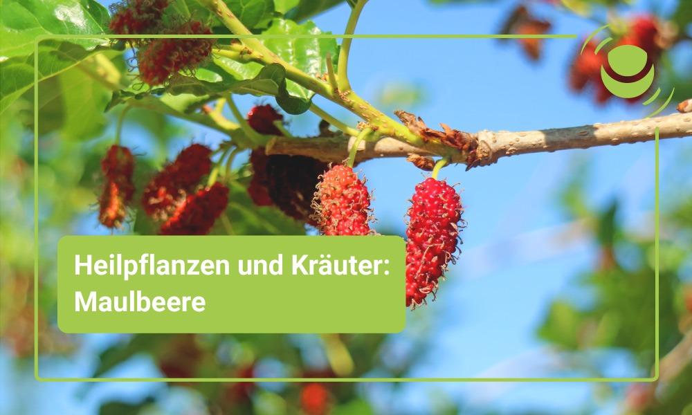 Heilpflanze Maulbeere