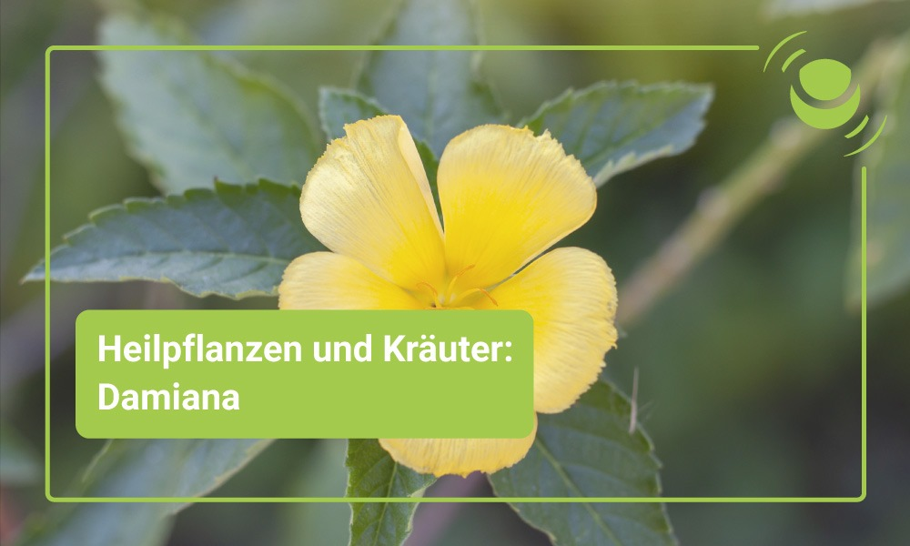 Damiana Heilpflanze